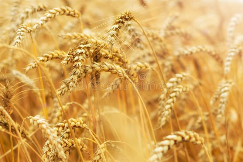 Zone de blé Oreilles de fin d'or de blé  Fond des oreilles de maturation du champ de blé de pré Concept riche de récolte photos stock