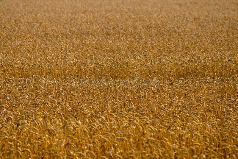 Zone de blé Oreilles de fin d'or de blé  Fond de ripeni image libre de droits