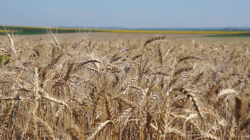 Zone de blé un jour ensoleillé banque de vidéos