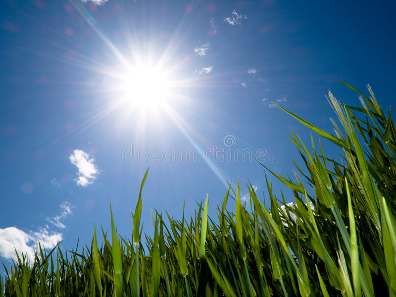 Zone de blé verte images libres de droits