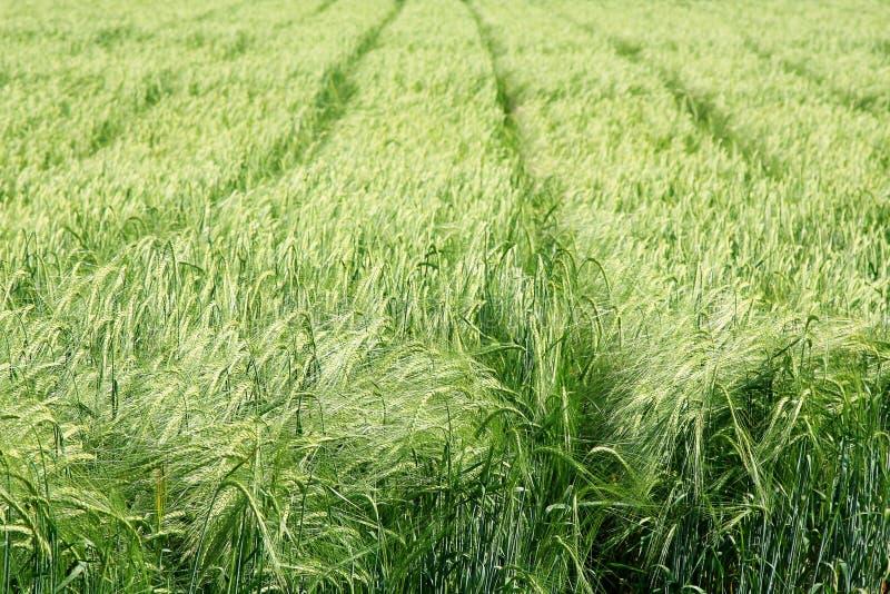 Zone de blé verte un jour d'été photographie stock