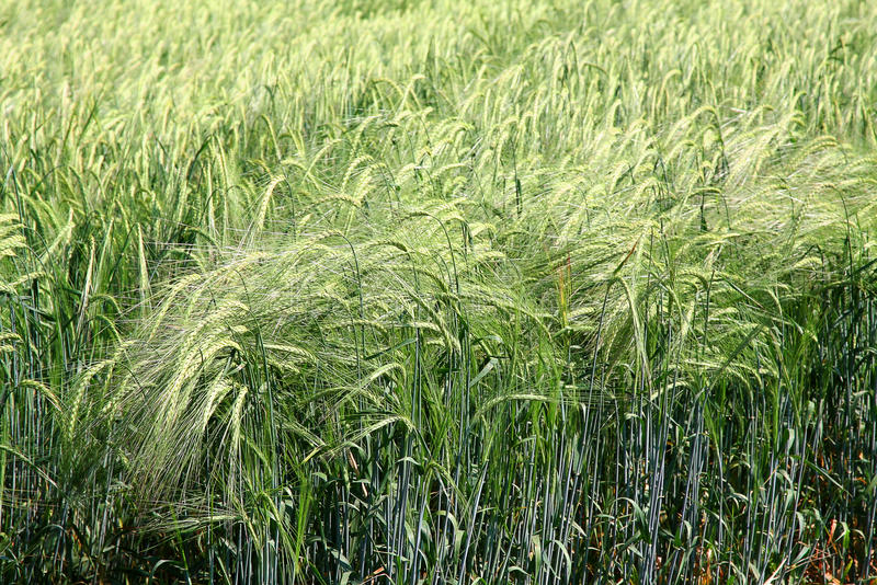 Zone de blé verte un jour d'été photographie stock libre de droits