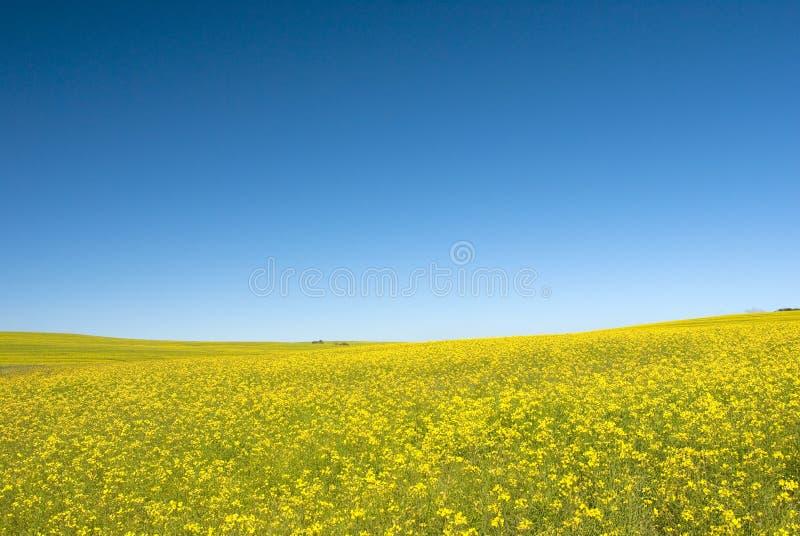 Zone de Canola avec le ciel bleu images stock