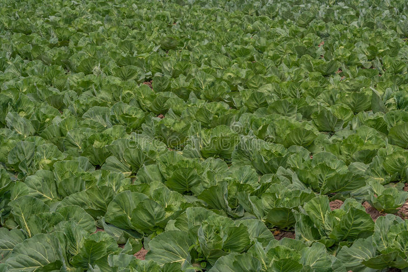 zone de chou s'élevant végétale photo stock