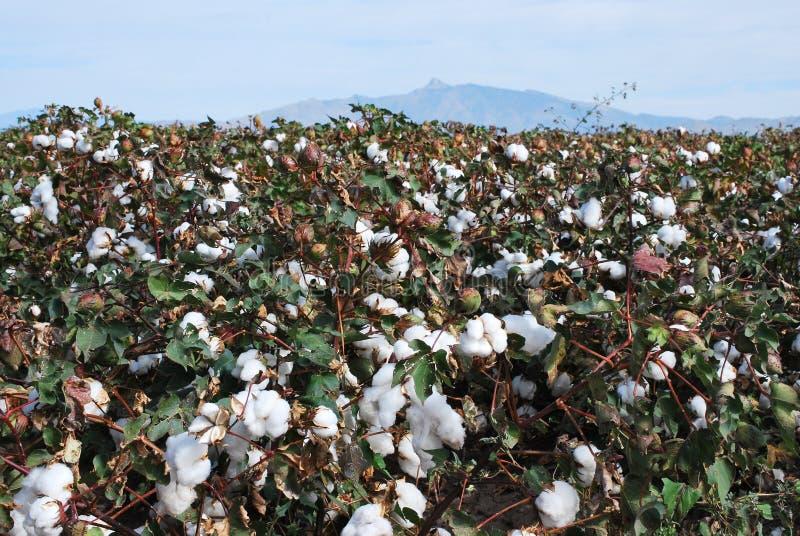 Zone de coton avec des fleurs images stock