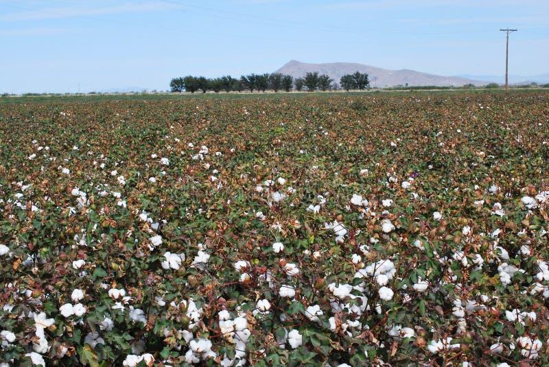 Zone de coton en fleur images libres de droits