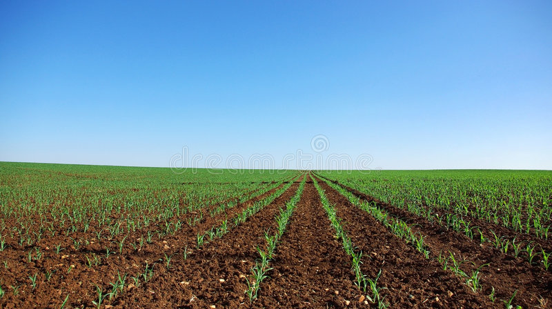 Zone de jeunes centrales de maïs. photographie stock libre de droits