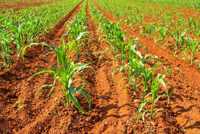 Zone de maïs image libre de droits