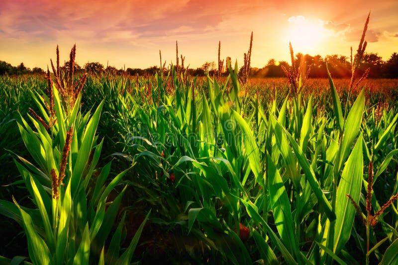 Zone de maïs au coucher du soleil photographie stock libre de droits