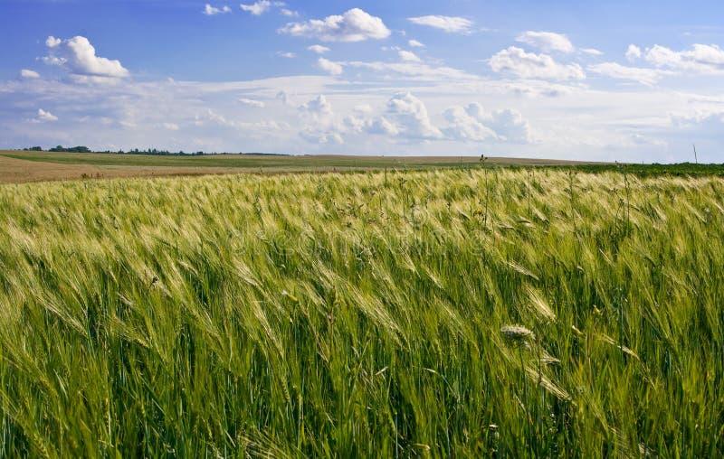 Zone de maïs de blé photographie stock libre de droits