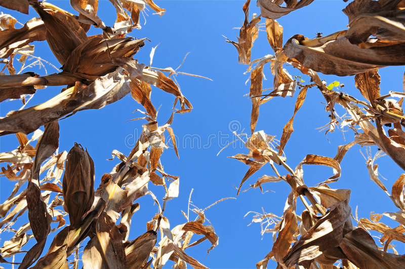 Zone de maïs de dessous images stock
