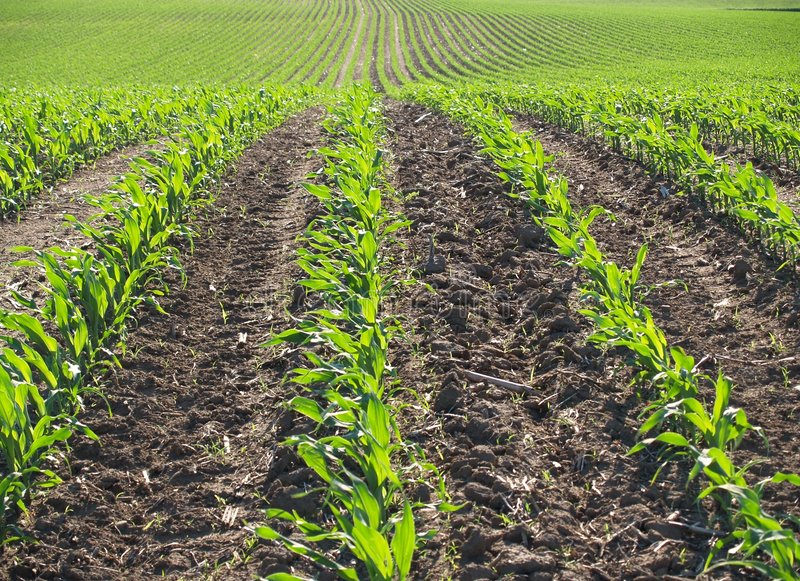 Zone de maïs de source images stock