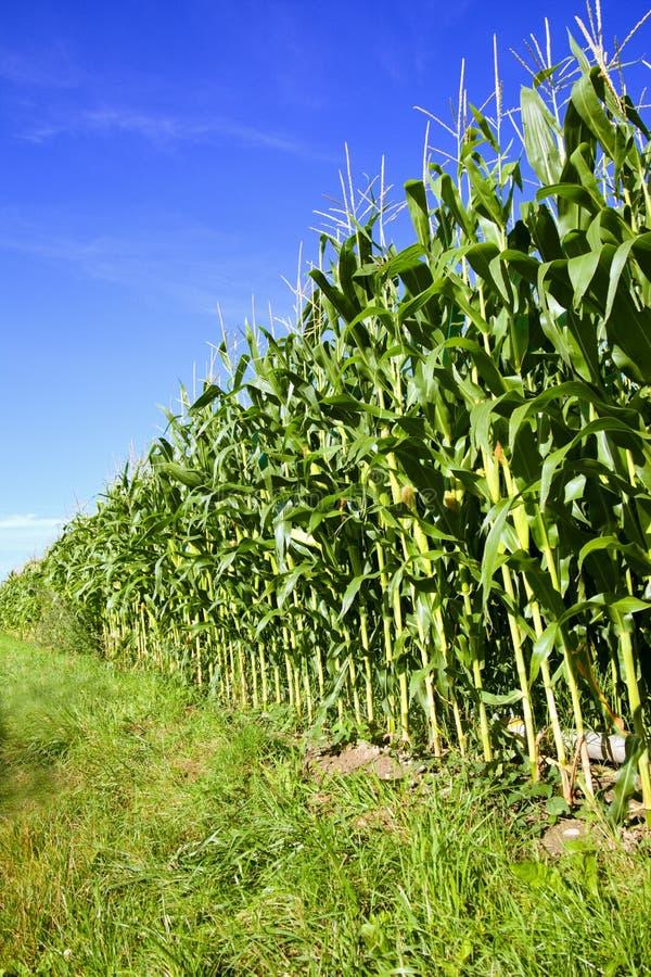 Zone de maïs et ciel bleu photo stock
