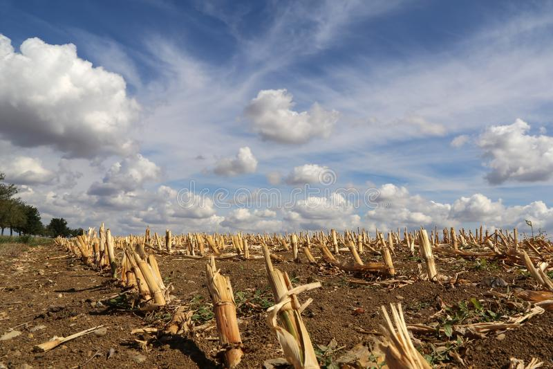 Zone de maïs moissonnée photos stock