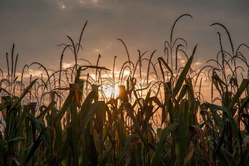 Zone de maïs prête pour la moisson image libre de droits