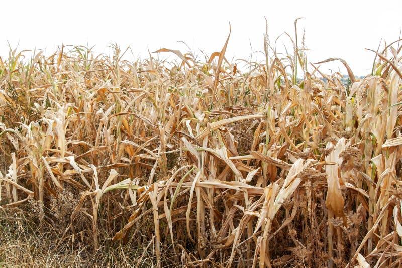 Zone de maïs sèche Jour d'été chaud Manque de pluie Ferme sèche Coucher du soleil spectaculaire Récolte pauvre images stock