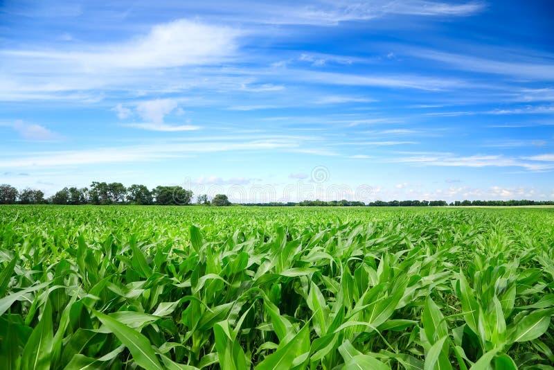 Zone de maïs vert photos libres de droits