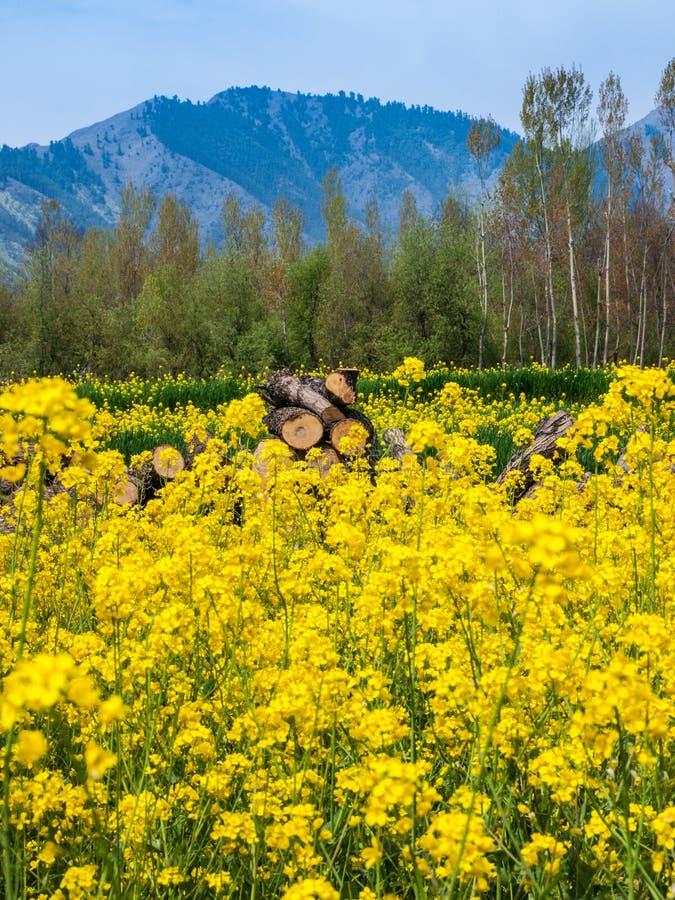 Zone de moutarde photo libre de droits