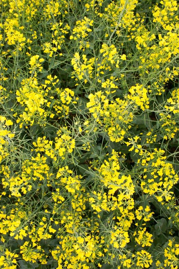 Zone de moutarde photographie stock
