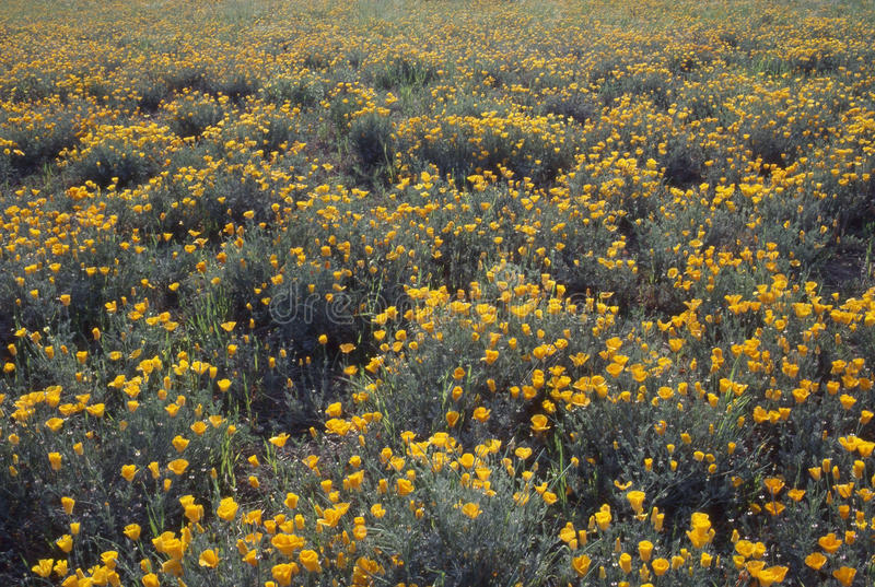 Zone de pavot de Californie images stock