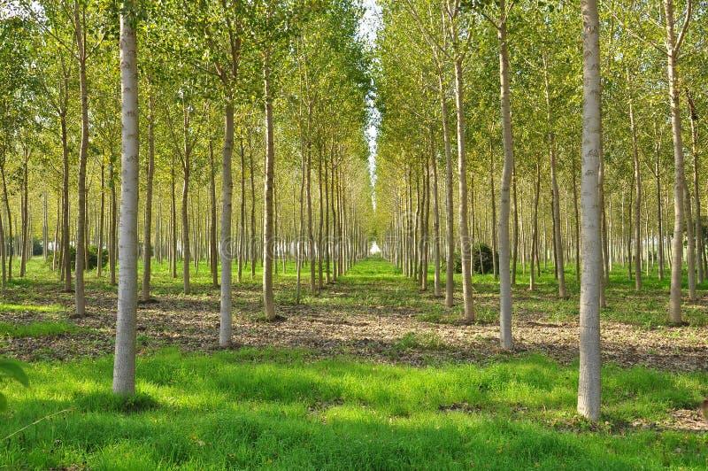 Zone de peuplier en Lombardie, Italie. image libre de droits