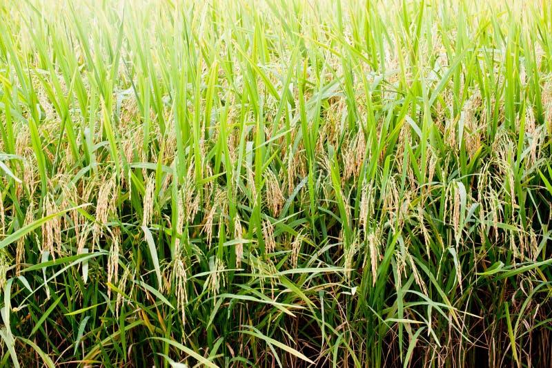 Zone de rizière photos libres de droits