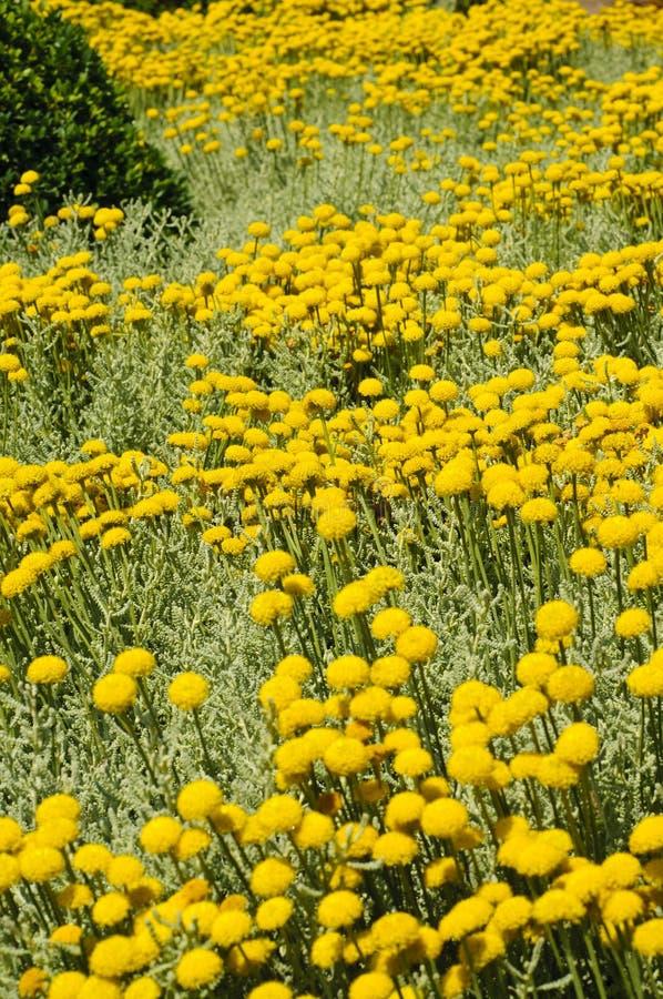 Zone de santolina gris image libre de droits