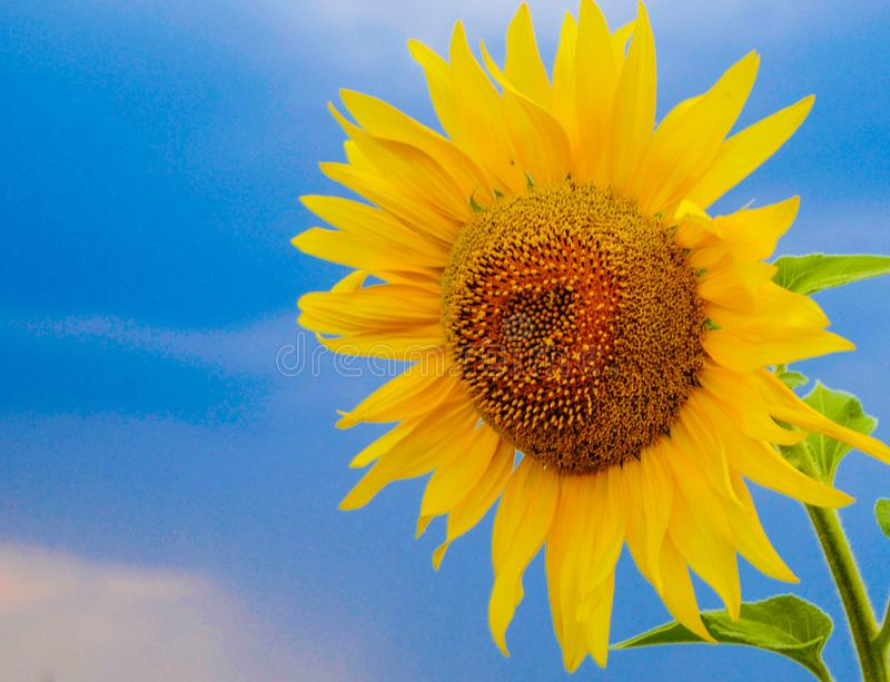 Zone de Sunflowers illustration de vecteur