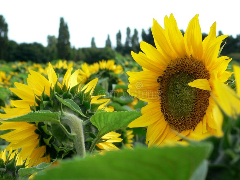 Zone de Sunflowers.l images libres de droits