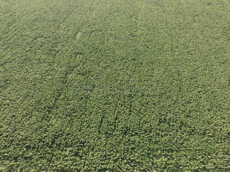 Zone de Sunflowers Vue aérienne des champs agricoles fleurissant la graine oléagineuse Vue supérieure image stock