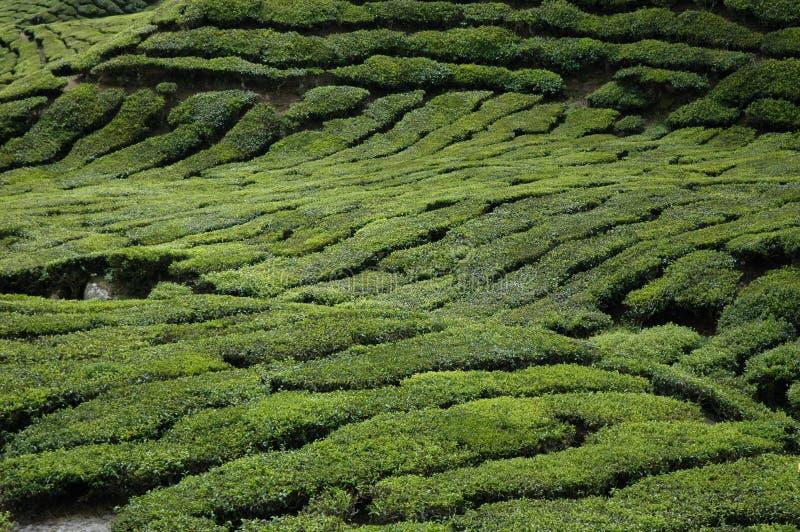 Zone de thé photographie stock