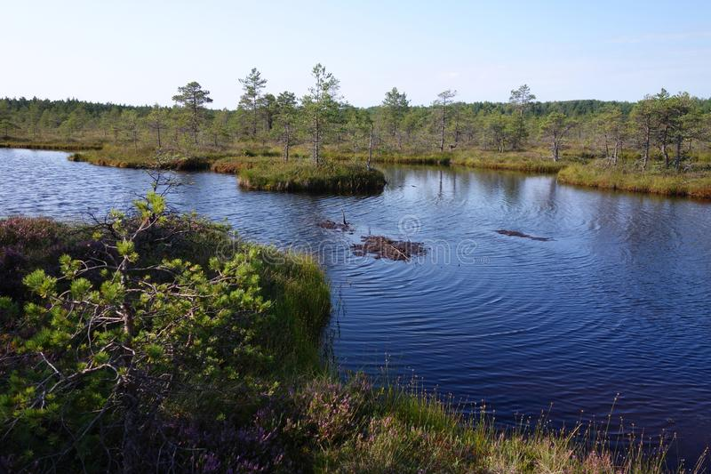 Zone de tourbières sauvages en Estonie en été photo libre de droits