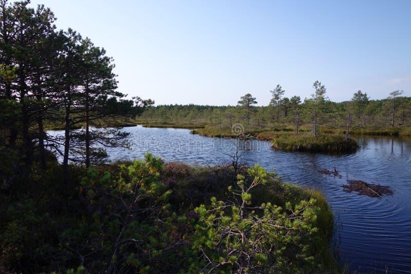Zone de tourbières sauvages en Estonie en été photos stock