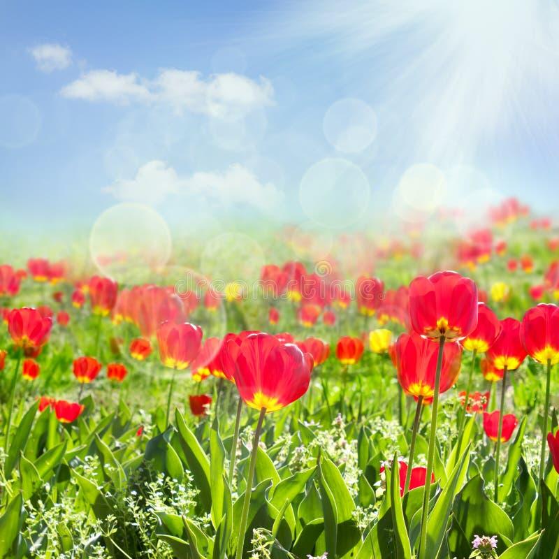 Zone de tulipe photographie stock