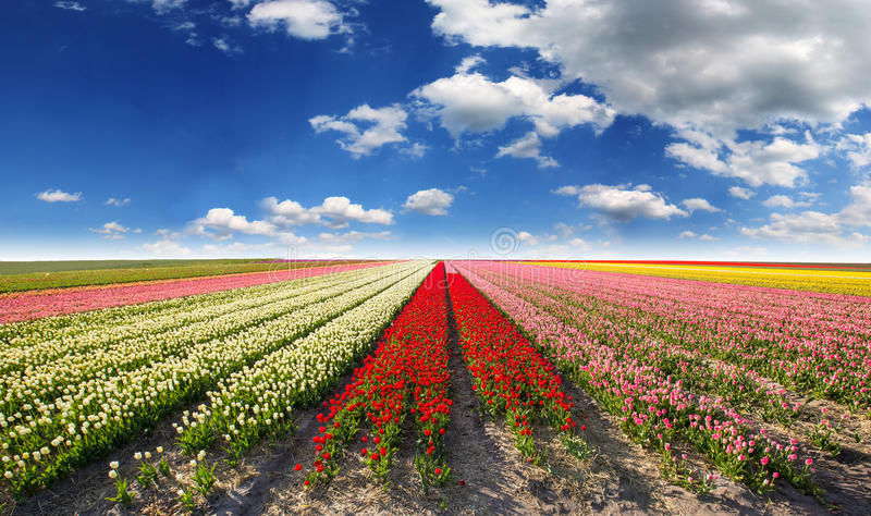 Zone de tulipe en Hollande photographie stock libre de droits