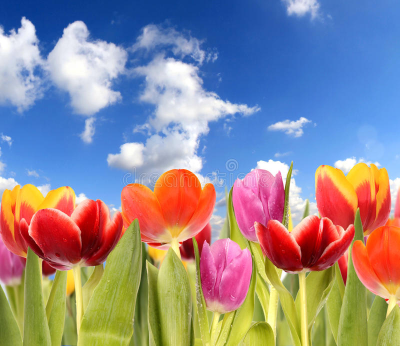 Zone de tulipes image stock
