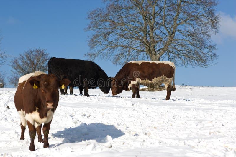 Download Zone de vaches neigeuse image stock. Image du congélation - 8660899