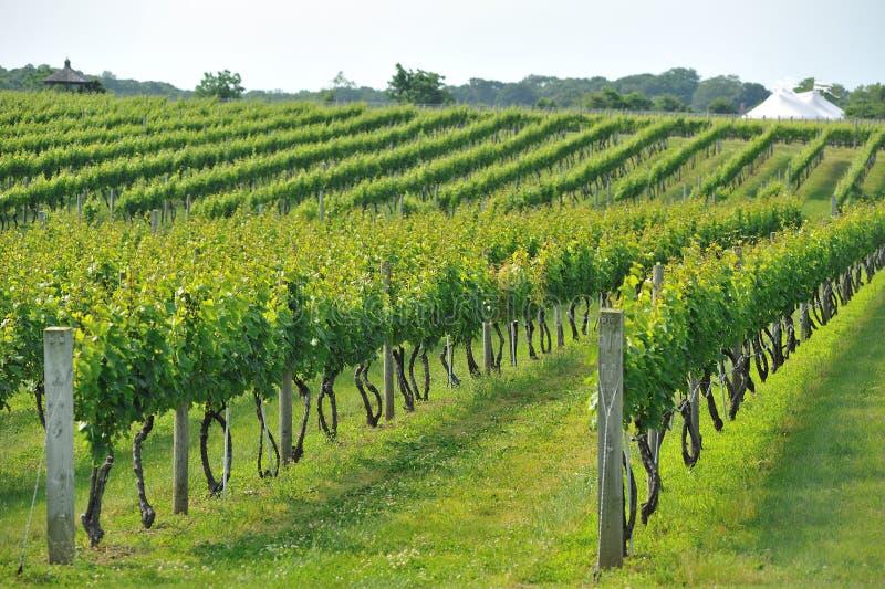 Zone de vigne photos stock