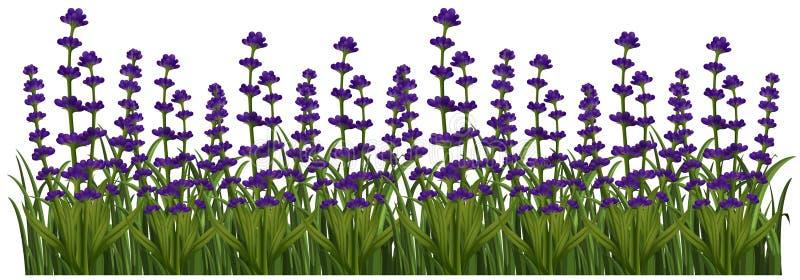 Zone des fleurs de lavande illustration libre de droits
