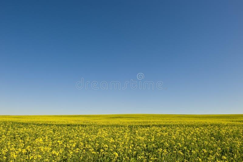 Zone des fleurs jaunes photo libre de droits
