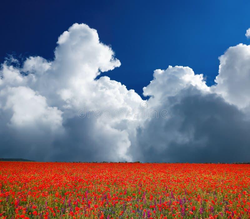 Zone des pavots fleurissants photo libre de droits