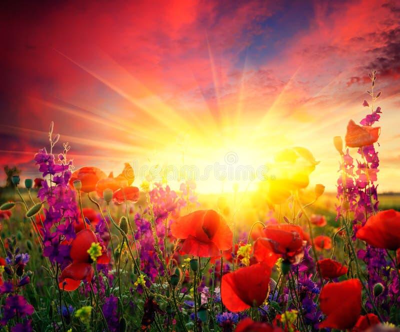 Zone des pavots fleurissants photos stock