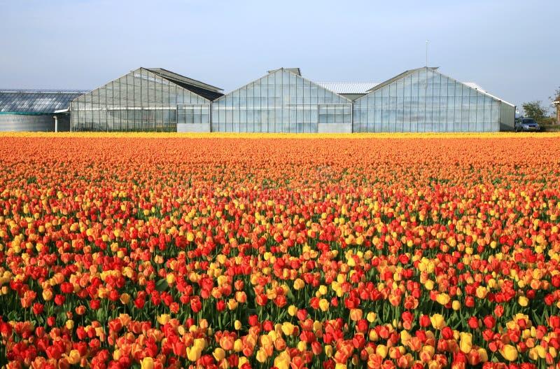 Zone des tulipes image libre de droits