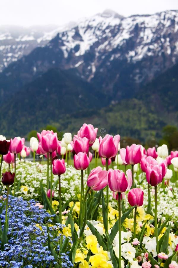 Zone des tulipes colorées photographie stock libre de droits