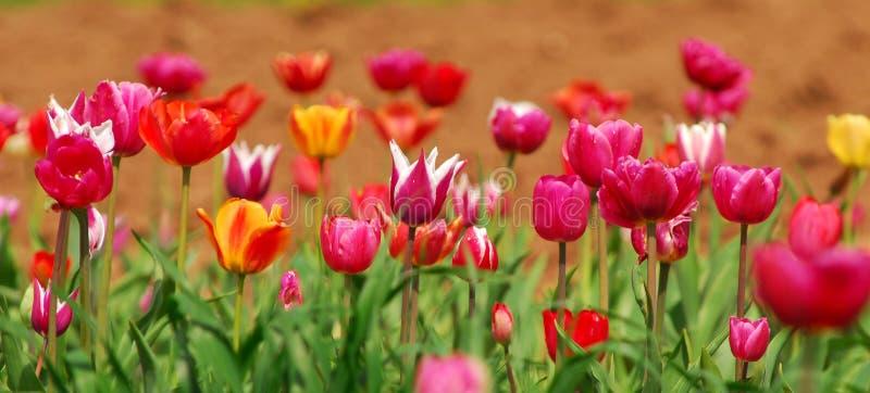 Download Zone des tulipes colorées image stock. Image du coloré - 732315