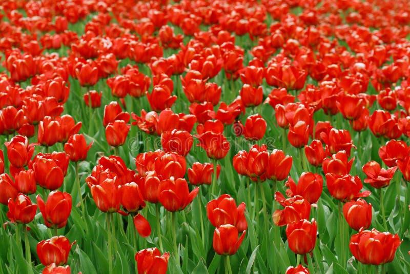 Zone des tulipes rouges image stock