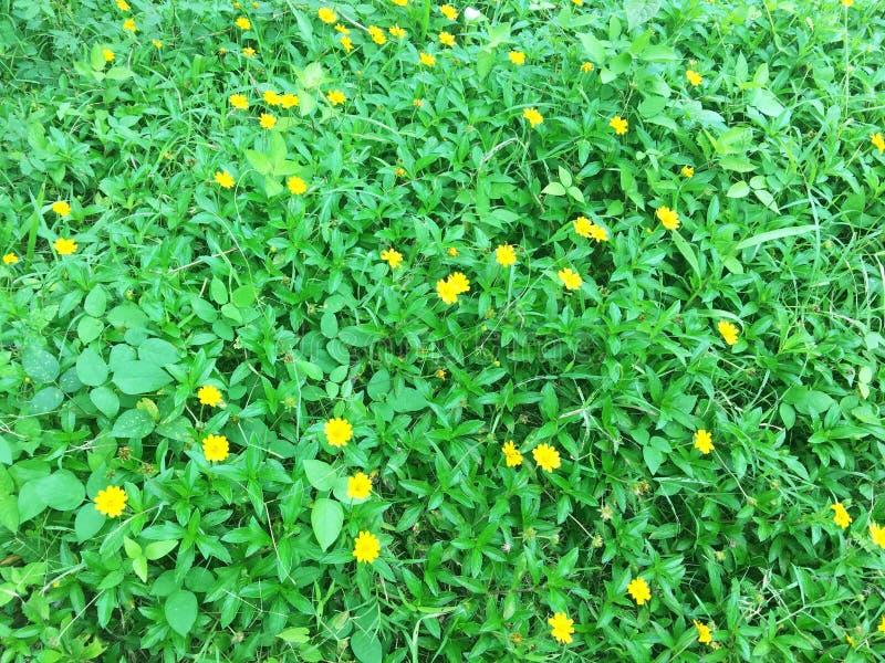 Zone jaune de marguerite photos libres de droits