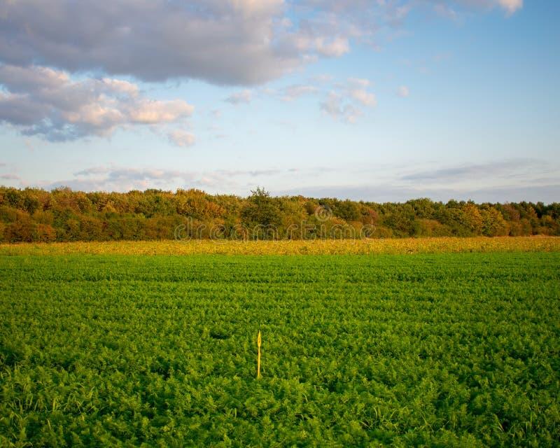 Zone rurale avec le champ mûr de carotte photographie stock libre de droits