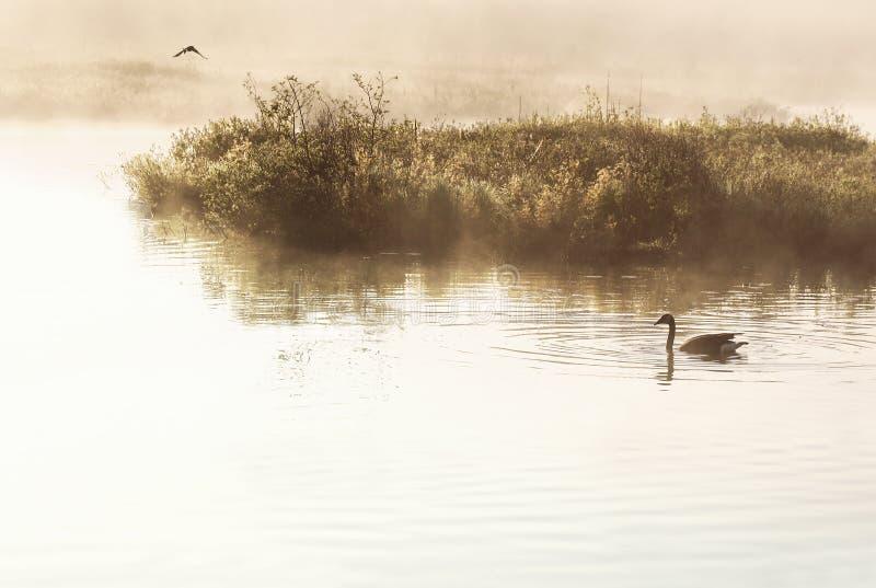 Zone umide nel primo mattino La nebbia nebbiosa circonda la regione paludosa mentre un'oca dell'un Canada nuota avanti nella soli immagine stock libera da diritti