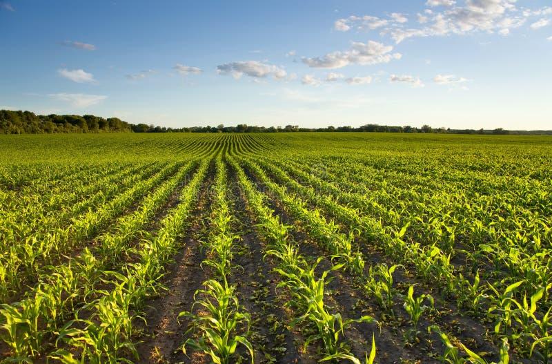 Zone verte avec du jeune maïs photo stock